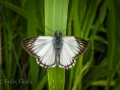 Veined white skipper (Heliopetes arsalte)