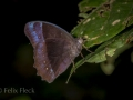 Satyrid butterfly (Taygetis sp)