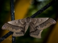 Giant silk moth (Arsenura armida)