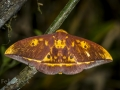Saturniid moth (Eacles sp)