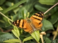 Orange mapwing (Hypanartia lethe)