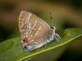Highton's Hairstreak (Meridaria hightoni)