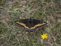 Short-tailed swallowtail (Papilio brevicauda)