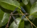 Crane flies (Tipula alpium?)