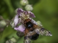 Hover fly (Volucella pellucens)