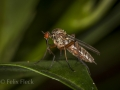Dance fly (Empis livida) - female