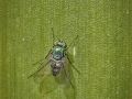 Green long-legged fly (Mesorhaga sp)