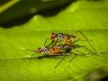 Stilt-legged flies