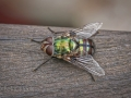 Green rutilia fly (Rutilia sp)