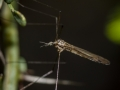 Long-Palped crane fly