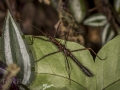 ACANTHOCLONIA STICK INSECT (Acanthoclonia sp)