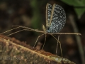 CROWN STICK INSECT (Onchestus rentzi)