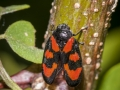 Red-and-black froghopper (Cercopis vulnerata)