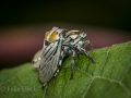 Treehoppers (Aethalion sp)